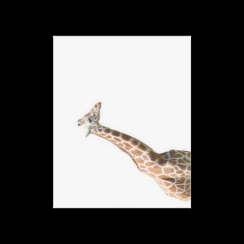 """Giraffe Poster 20""""x16"""""""