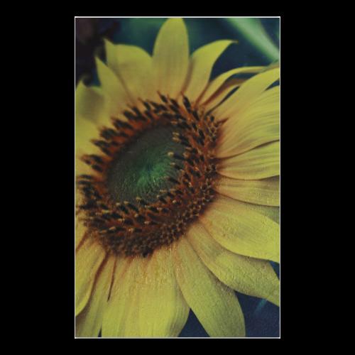 """Sunflower Poster 23""""x36"""""""