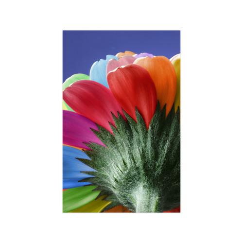 "Rainbow Petals Gerbera Flower Poster 11""x17"""
