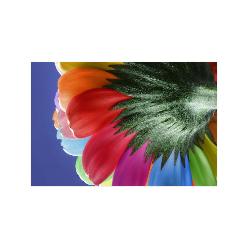 "Rainbow Petals Gerbera Flower Poster 20""x30"""